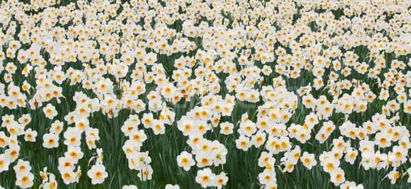 Stock photo: Daffodils