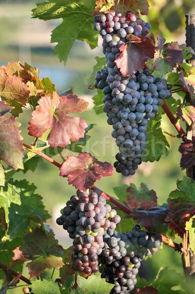 Winorośl winogron wina owoców Zdjęcia stock © Calek