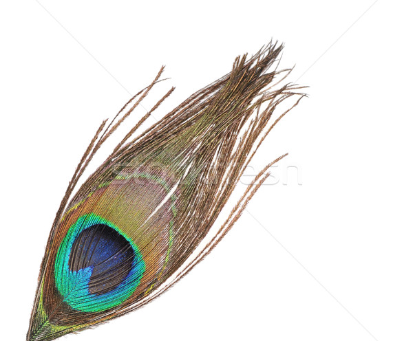 Paon plumes blanche oeil beauté vert Photo stock © Calek