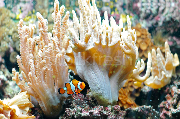 Ocellaris clownfish 2 Stock photo © Calek