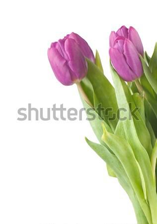 розовый тюльпаны белый лист красоту красный Сток-фото © Calek