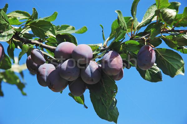 фрукты филиала зрелый дерево лист Сток-фото © Calek