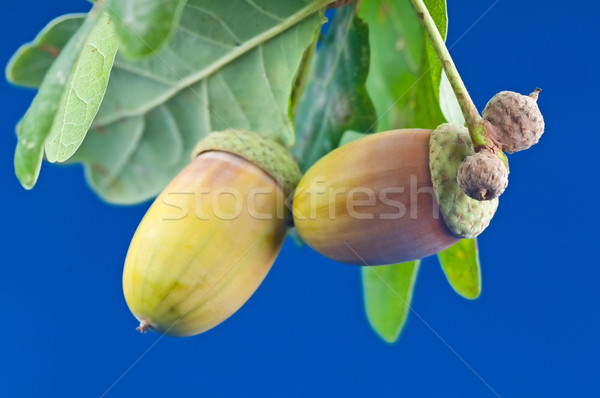 желудь синий текстуры древесины природы лист Сток-фото © Calek