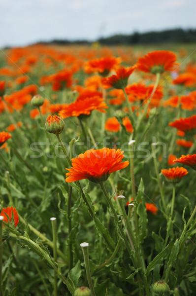 Marigold 3 Stock photo © Calek