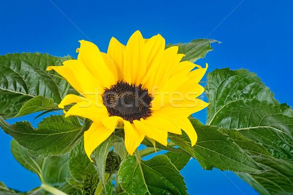 Sunflower Stock photo © Calek