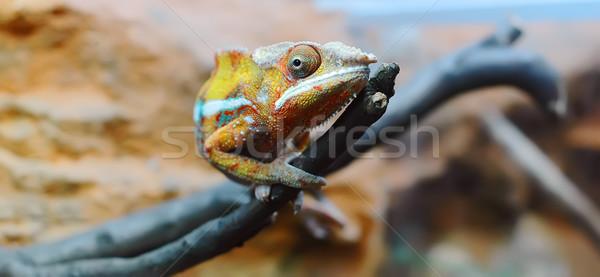 Chameleon Stock photo © Calek