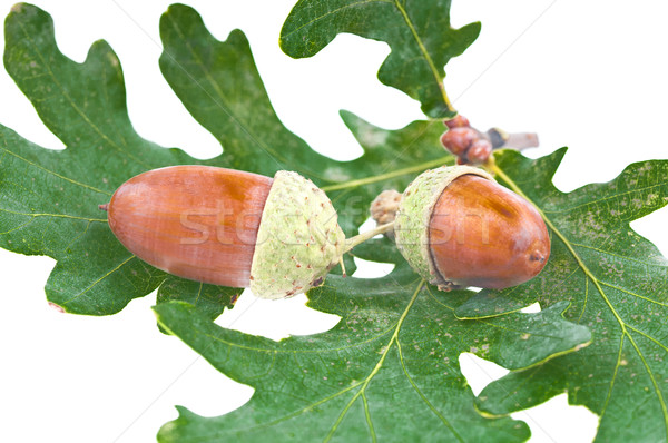 The acorns Stock photo © Calek