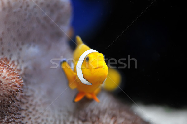 Nemo Stock photo © Calek