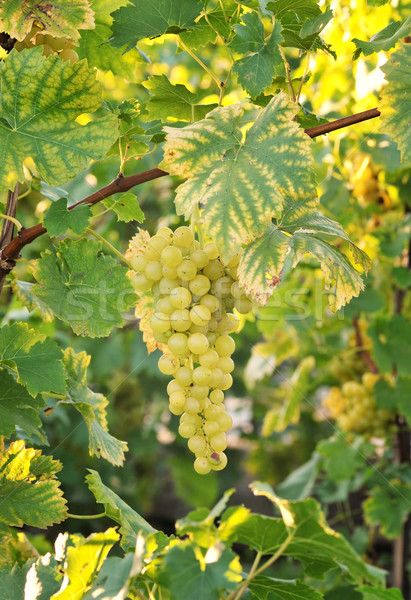Grapevine Stock photo © Calek