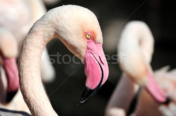 Gaga ayrıntılar kafa flamingo kuş kırmızı Stok fotoğraf © Calek