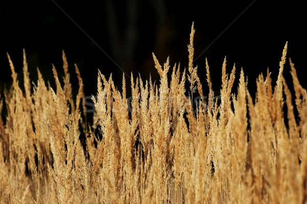 трава высушите желтый природы черный осень Сток-фото © Calek