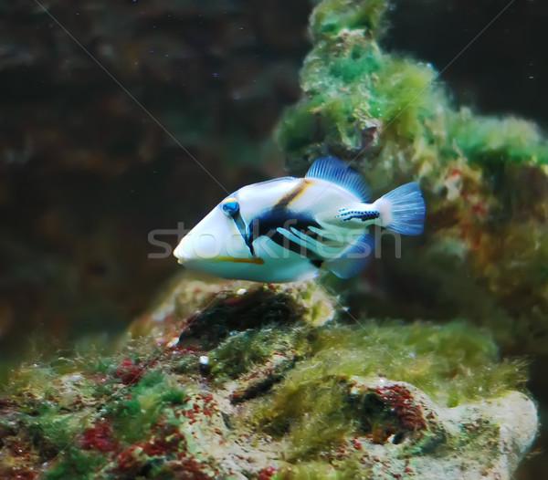 Vis tropische koraal aquarium achtergrond engel Stockfoto © Calek