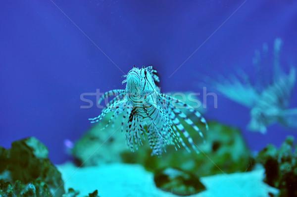 Lionfish Stock photo © Calek