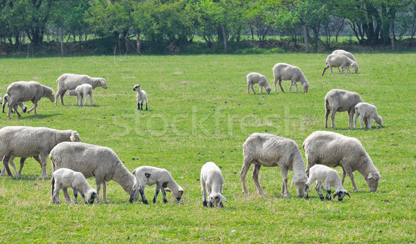 Koyun çiftlik bahar bebek çim Stok fotoğraf © Calek