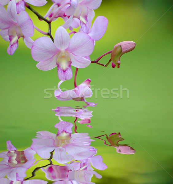 Phalenopsis Stock photo © Calek