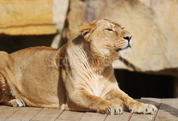 Stock fotó: Pihen · szemek · macska · portré · oroszlán · park