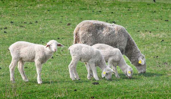 Stock fotó: Birka · farm · testtartás · tavasz · baba · fű