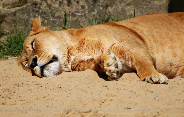 Lioness Stock photo © Calek