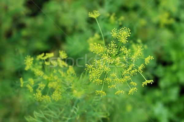 Fleurs herbes été vert usine blanche Photo stock © Calek
