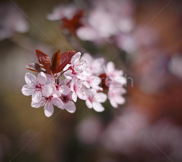 Kiraz simge bahar çiçekli şube gökyüzü Stok fotoğraf © Calek
