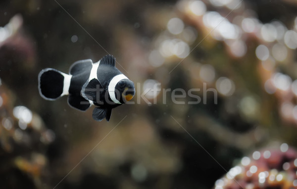Black clowfish Stock photo © Calek