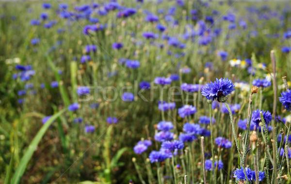 василек продукт органический цветок весны Сток-фото © Calek