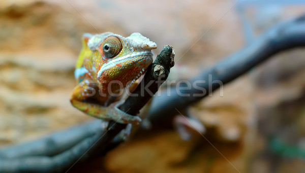 Chameleon Stock photo © Calek