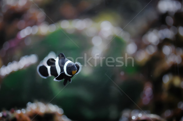 Clownfish Stock photo © Calek