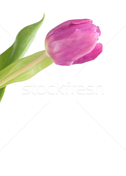 ピンク チューリップ 白 葉 美 赤 ストックフォト © Calek