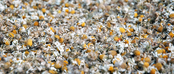 Chamomile Stock photo © Calek