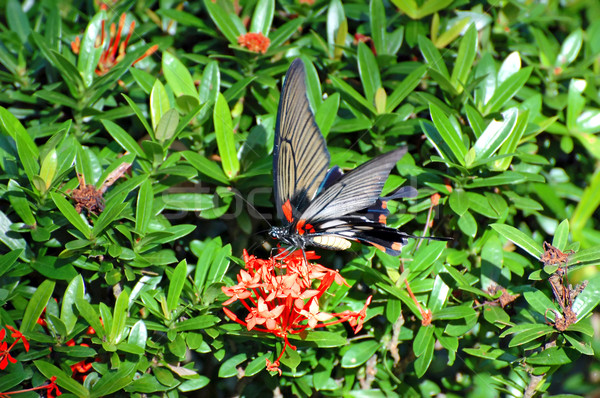 бабочка экзотический сидят цветок весны лист Сток-фото © Calek