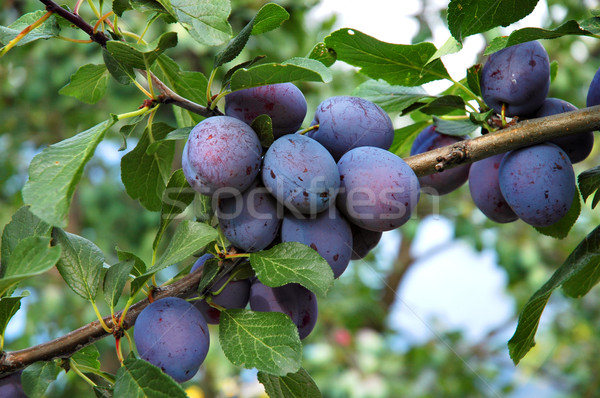Plums 7 Stock photo © Calek