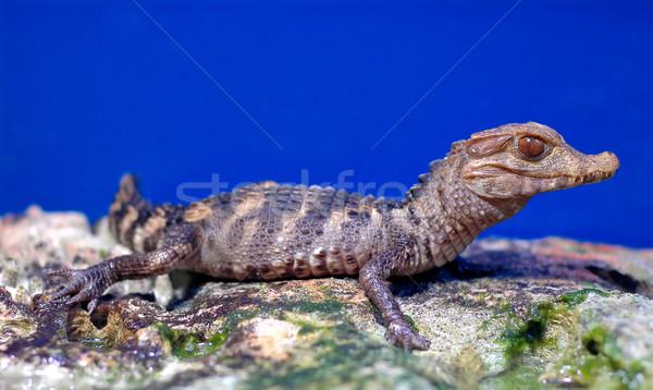 Krokodil bebek su yeşil çiftlik cilt Stok fotoğraf © Calek