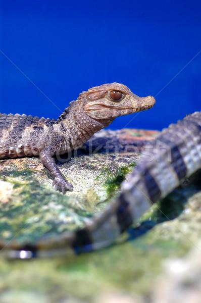 Crocodile Stock photo © Calek