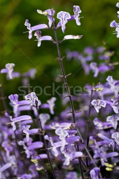 Pequeno branco roxo flores tropical jardim Foto stock © calvste