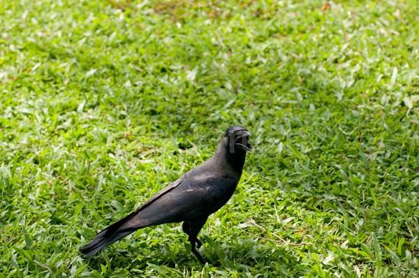 Preto corvo grama campo pena cor Foto stock © calvste