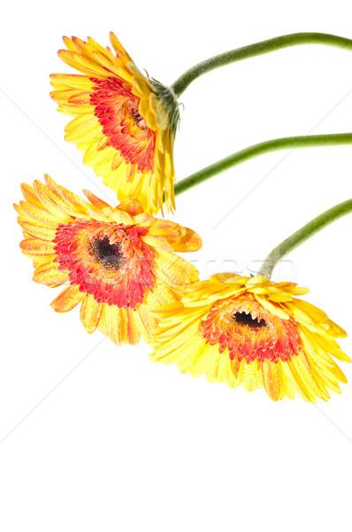 üç sarı turuncu çiçek beyaz soyut Stok fotoğraf © calvste