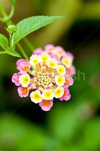 Virág közelkép rózsaszín citromsárga virágoskert nap Stock fotó © calvste