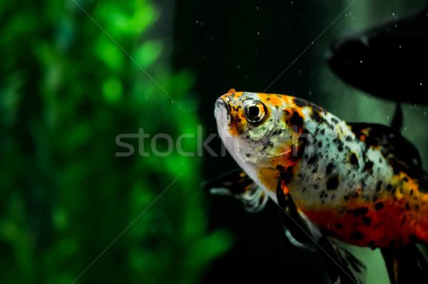 Japanese shubunkin and black moor goldfish at background Stock photo © calvste