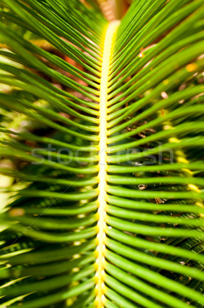 Sago palm leaves close up Stock photo © calvste
