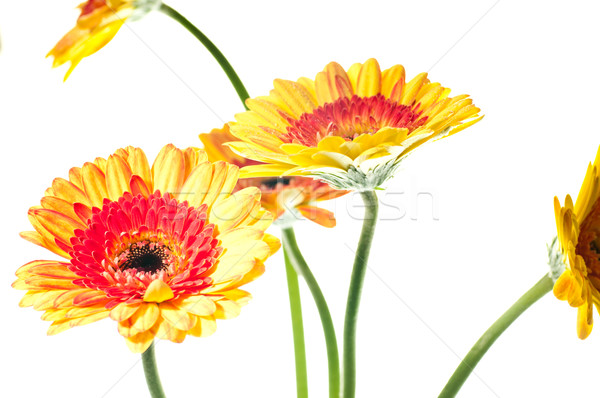 оранжевый желтый цветы два белый цветок Сток-фото © calvste