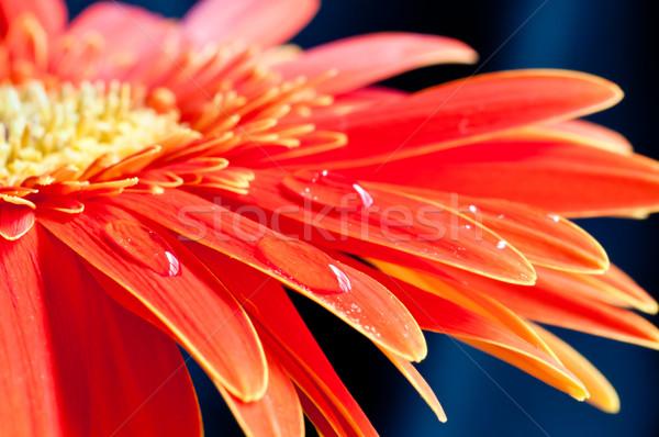 Vermelho flor gotas de água jardim Foto stock © calvste