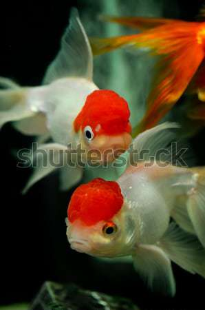 Red cap oranda and a black moor goldfish at background Stock photo © calvste