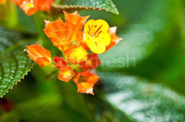 Laranja amarelo tropical chuva Foto stock © calvste