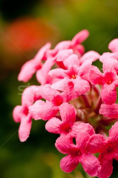 Rosa pequeno flores jardim luz Foto stock © calvste