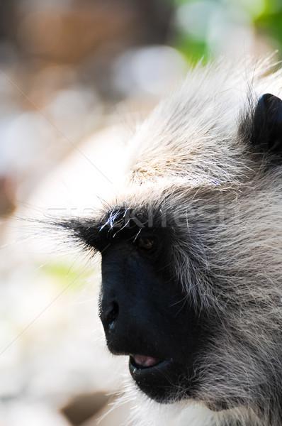 Gray langur face close up Stock photo © calvste