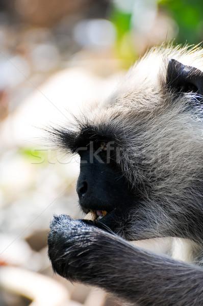 Indian langur eating close up Stock photo © calvste