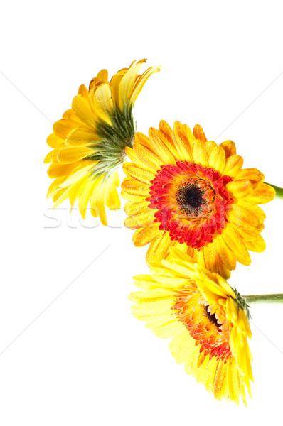 три оранжевый желтый цветок белый аннотация Сток-фото © calvste
