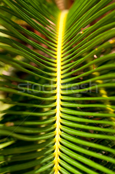 Sago palm leaf close up Stock photo © calvste