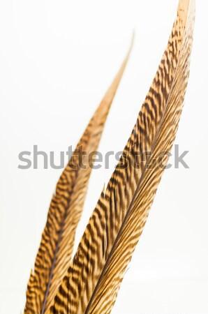 Dourado cauda isolado branco Foto stock © calvste